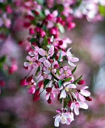άνθη της μηλιάς